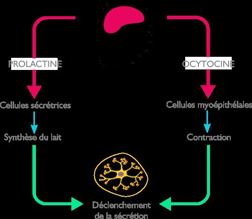 Mécanisme d'éjection du lait